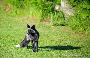 Black Fox by La-Vita-a-Bella