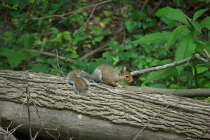 Squirrel by LateRose-Stock