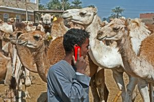 camels call by Nile-Paparazzi