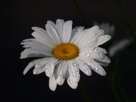 English Daisies 14 by botanystock