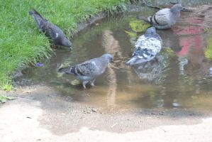 Bird Bath In the Puddle, the Gathering 13 by Miss-Tbones
