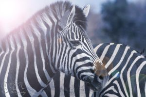 Zebra by DeadBunnyz