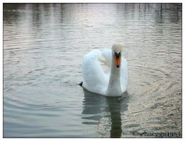 swan 03 by schnegge1984