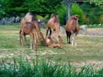 Dromedaries 2 by Cansounofargentina