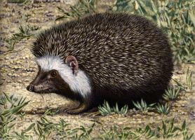 South African Hedgehog by WillemSvdMerwe