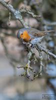 Little Robin (European Robin) by MariaDeinert
