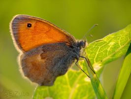 _Coenonympha pamphilus_ by efeline
