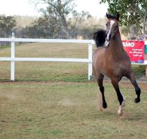 GE Arab rosegrey canter front on by Chunga-Stock