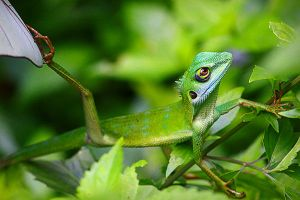 Green Crested Lizard 03 by josgoh