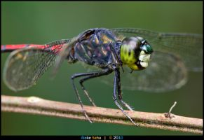 Agrionoptera insignis by alokethebloke
