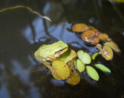 young Hyla Meridionalis 2 by FuriarossaAndMimma