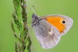Coenonympha pamphilus by efeline