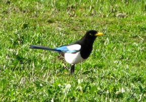 Yellow Billed Magpie by Earthmagic