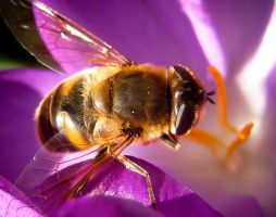 March Hoverfly by iriscup