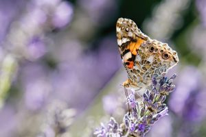 Butterfly in Lavender II by dalantech