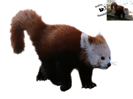 Cut-out stock PNG 96 - walking red panda by Momotte2stocks