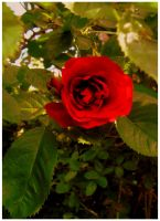 red rose by froet
