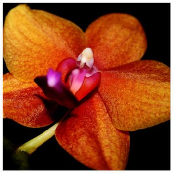 Orchid I by AnakinVercetti