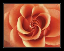 An orange rose by tabouret