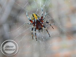 Spider Tiger 1 by zombiecorax