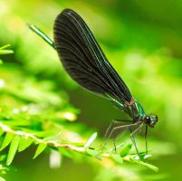 Dragonfly by RichardRobert