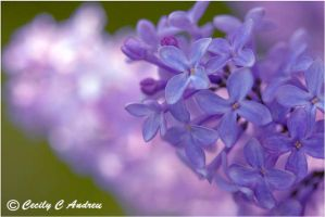 Lilac Blossoms by CecilyAndreuArtwork