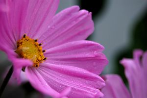Pink I by Seffis