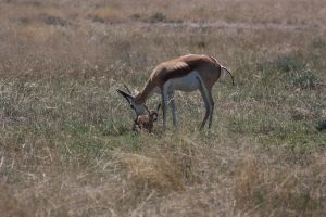 Springbuck with little one by DoWnHIller