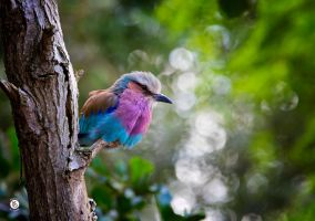 Kingfisher And Bokeh by MikeFShaw