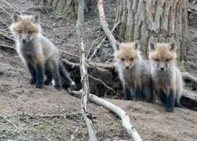 Fox Kits Blue Eyes by lartdenature
