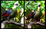 White-Crested Turaco by Kata