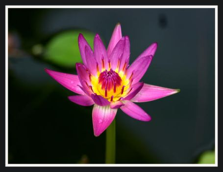 another perfect lily by Buddhalassie