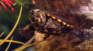 Hatchling Mud Turtle - 4 by ElaineSeleneStock
