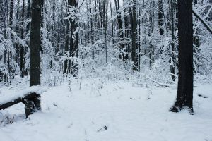 Winter Forest 3 by Salamander-Stock