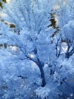 Infrared blue oak tree by harrietsfriend