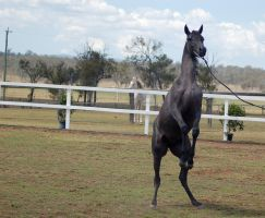 GE Arab filly grey rearing front view by Chunga-Stock
