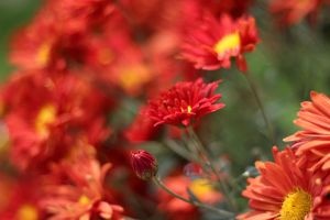 red flowers unrestricted 3 by unread-story