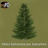 Balsam Fir by IbenTesara