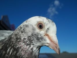 Pigeon by Rinnyw