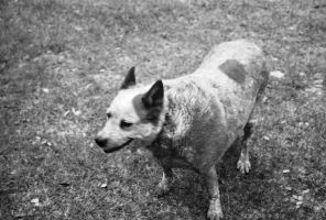 Red Heeler 2- B and W by Chris01125