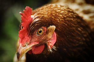 Country Chicken 14 by S-H-Photography