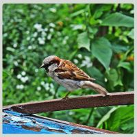 sparrow by weryvall
