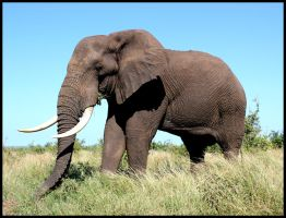 Large African Elephant by mikewilson83