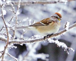 Sparrow in Winter by clippercarrillo