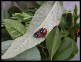 Mating ladybugs by moonduster