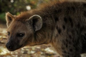Spotted Hyena by Saromei