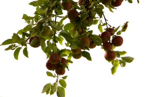 apple tree by cindysart-stock by CindysArt-Stock