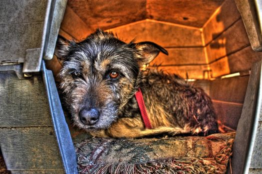 HDR Dog by rantbs