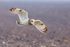 Yay For the Short Eared Owls by thrumyeye