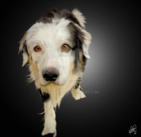 Border Collie by PINKTHONG